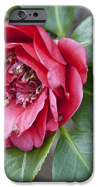 Red Camellia Squared iPhone Case by Teresa Mucha