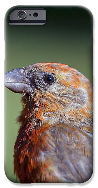 Crossbill iPhone Cases - Red Crossbill iPhone Case by Derek Holzapfel