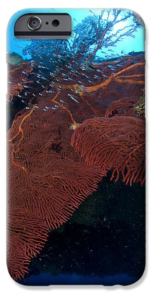 Red Fan Cora With Sunburst, Papua New iPhone Case by Steve Jones