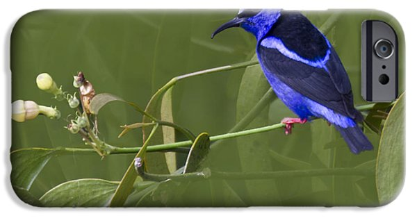 Zoologic iPhone Cases - Red-legged Honeycreeper - Cyanerpes cyaneus iPhone Case by Heiko Koehrer-Wagner