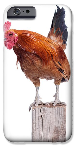 Red Rooster on Fence Post Isolated White iPhone Case by Cindy Singleton