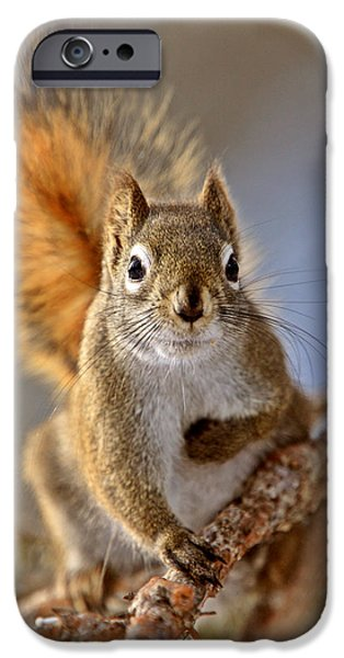 Cute Tree Images iPhone Cases - Red Squirrel in Winter Canada iPhone Case by Mark Duffy