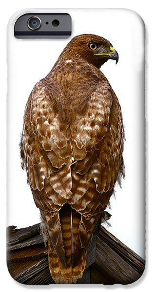 Red-tailed Hawk iPhone Cases - Red Tail Hawk iPhone Case by Paul Marto