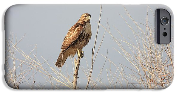 Red Tail Hawks iPhone Cases - Red Tailed Hawk 20100101-5 iPhone Case by Wingsdomain Art and Photography
