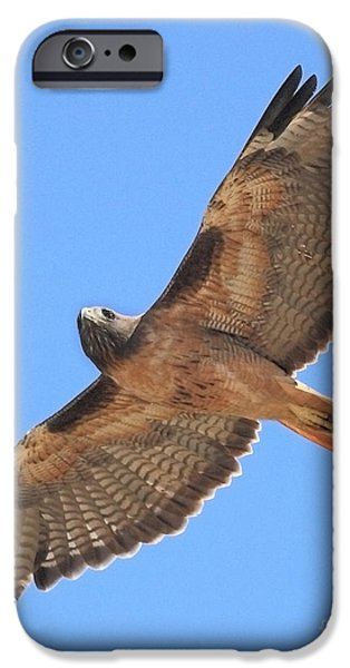 Red Tail Hawks iPhone Cases - Red Tailed Hawk in flight iPhone Case by Wingsdomain Art and Photography