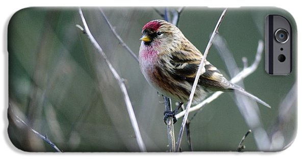 United iPhone Cases - Redpoll iPhone Case by Colin Varndell