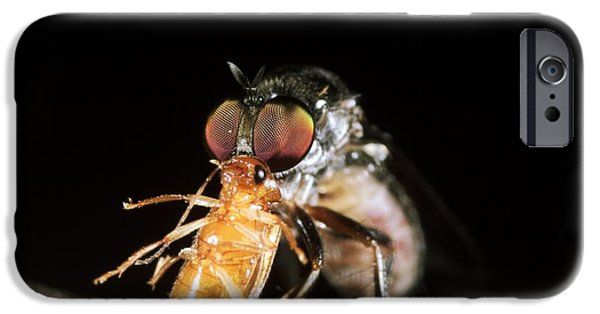 Eating Entomology iPhone Cases - Robber Fly Feeding On A Cockroach iPhone Case by Dr Morley Read
