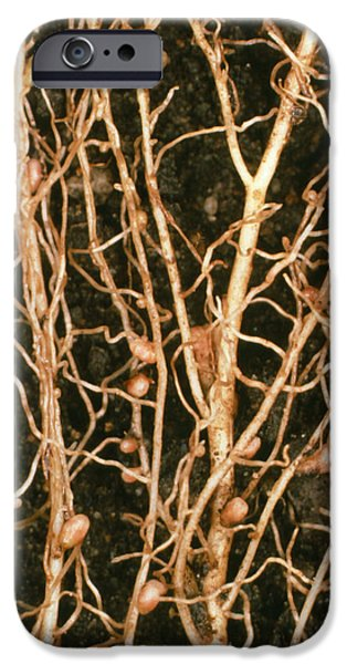 Soil Bacteria iPhone Cases - Root Nodules Of White Clover iPhone Case by Dr Jeremy Burgess.