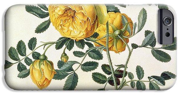 19th Century iPhone Cases - Rosa hemispherica iPhone Case by Georg Dionysius Ehret