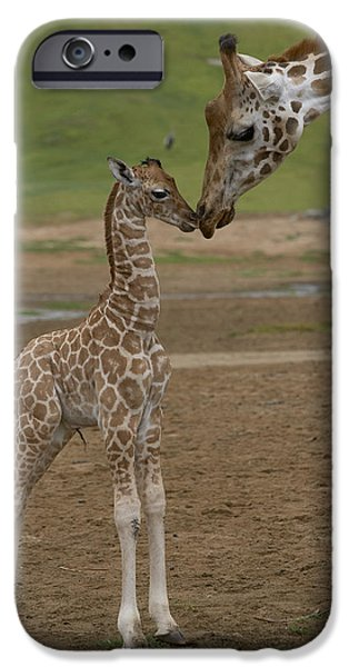 Fauna iPhone Cases - Rothschild Giraffe Giraffa iPhone Case by San Diego Zoo