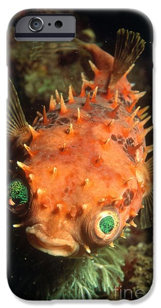 Rounded Porcupine Fish iPhone Case by Nature Source