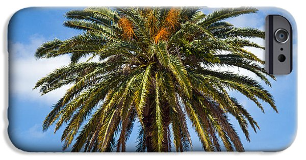 Palm Tree Greeting Cards iPhone Cases - Royal Palm In Florida iPhone Case by Allan  Hughes