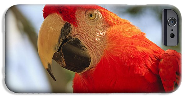 Nature Study iPhone Cases - Scarlet Macaw Parrot iPhone Case by Adam Romanowicz