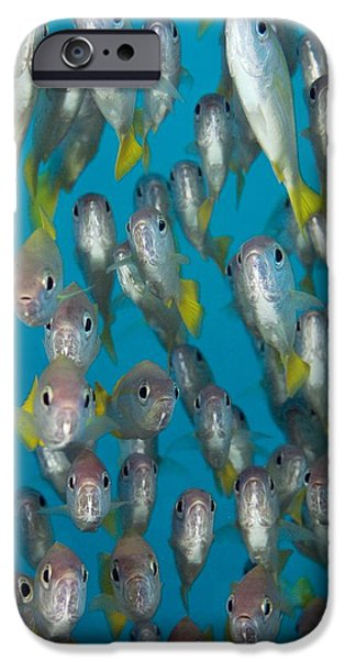 School Of Snappers iPhone Case by Matthew Oldfield