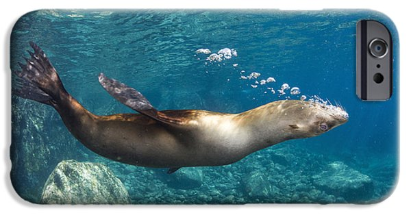 California Sea Lions iPhone Cases - Sea Lion Blowing Bubbles, Los Islotes iPhone Case by Todd Winner