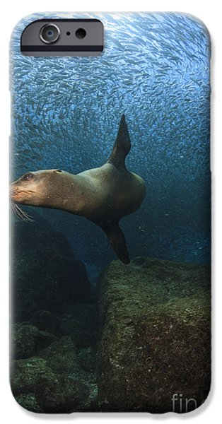 California Sea Lions iPhone Cases - Sea Lion Chasing A School Of Bait Fish iPhone Case by Todd Winner