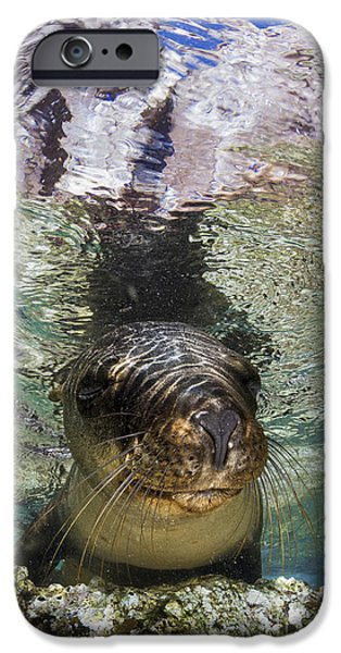 California Sea Lions iPhone Cases - Sea Lion Portrait, Los Islotes, La Paz iPhone Case by Todd Winner