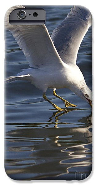 Seagull iPhone Cases - Seagull on Water iPhone Case by Dustin K Ryan
