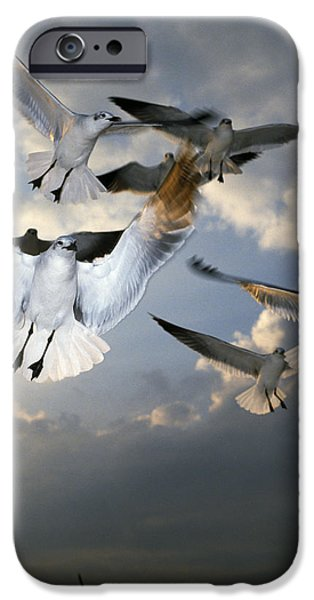 Flying Seagull iPhone Cases - Seagulls In Flight iPhone Case by Natural Selection Ralph Curtin