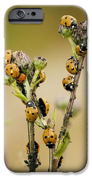 Eating Entomology iPhone Cases - Seven-spot Ladybirds Eating Aphids iPhone Case by Bob Gibbons
