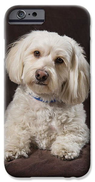 Shih Tzu-poodle On A Brown Muslin iPhone Case by Corey Hochachka