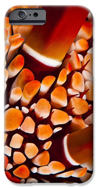 Slate Pattern iPhone Cases - Slate Pencil Urchin iPhone Case by Dave Fleetham - Printscapes