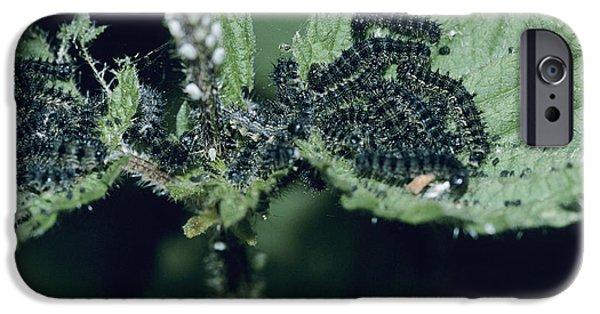 Eating Entomology iPhone Cases - Small Tortoiseshell Caterpillars iPhone Case by David Aubrey