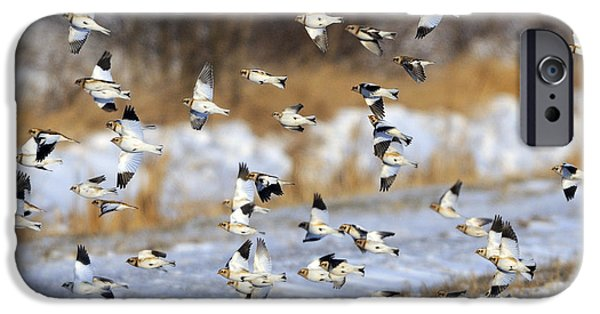 Bunting iPhone Cases - Snow Buntings iPhone Case by Tony Beck