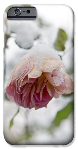 Snow-covered rose flower iPhone Case by Frank Tschakert