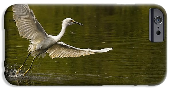 Snowy Day iPhone Cases - Snowy Egret Fishing In Florida iPhone Case by Robert Postma