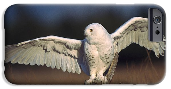 Snowy Day iPhone Cases - Snowy Owl Adult Balancing On A Stump iPhone Case by Tim Fitzharris