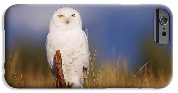 Snowy Day iPhone Cases - Snowy Owl Adult Perching On A Low Stump iPhone Case by Tim Fitzharris