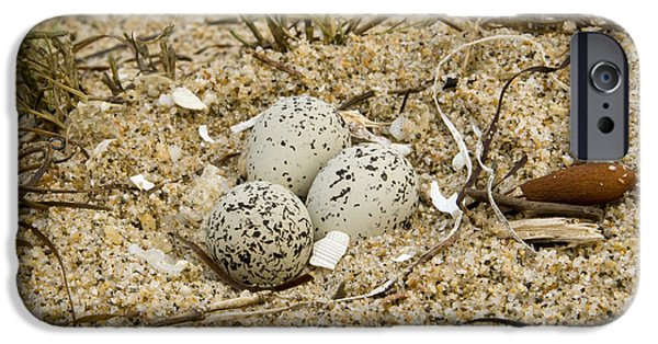 Snowy Day iPhone Cases - Snowy Plover Eggs In Nest Salinas River iPhone Case by Sebastian Kennerknecht