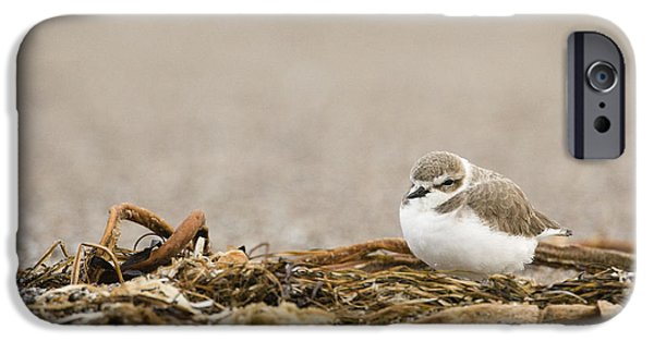 Snowy Day iPhone Cases - Snowy Plover In Winter Plumage Point iPhone Case by Sebastian Kennerknecht