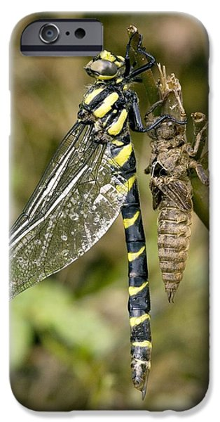 Sombre iPhone Cases - Sombre Goldenring Dragonfly Metamorphosis iPhone Case by Bob Gibbons
