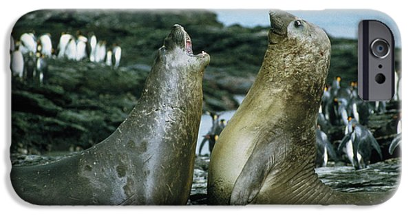 Aquatic Display iPhone Cases - Southern Elephant Seals iPhone Case by Peter Scoones