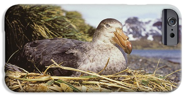Parental Care iPhone Cases - Southern Giant Petrel iPhone Case by Peter Scoones