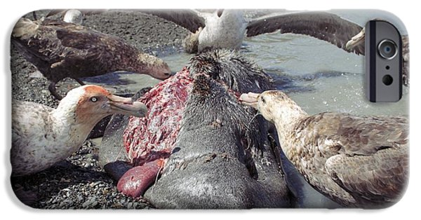 Aquatic Display iPhone Cases - Southern Giant Petrels Scavenging iPhone Case by Charlotte Main
