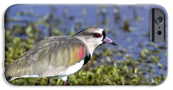 Lapwing iPhone Cases - Southern Lapwing two iPhone Case by Gord Patterson