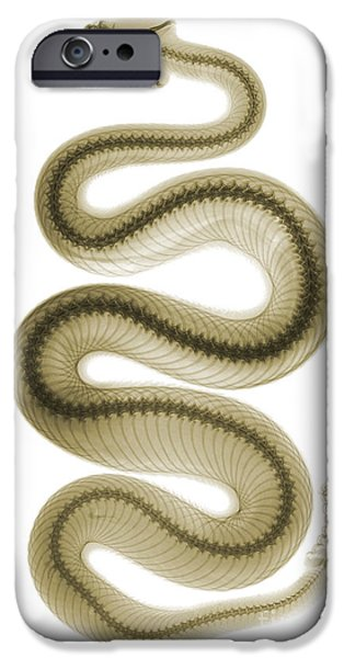 Recently Sold -  - Serpent iPhone Cases - Southern Pacific Rattlesnake, X-ray iPhone Case by Ted Kinsman