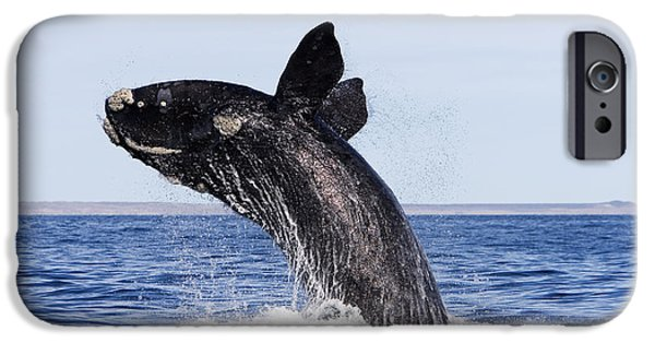 Ocean Mammals iPhone Cases - Southern Right Whale iPhone Case by Francois Gohier and Photo Researchers