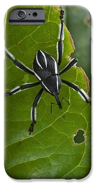 Spider Weevil Papua New Guinea iPhone Case by Piotr Naskrecki