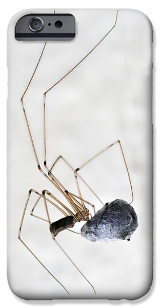 Arachnida iPhone Cases - Spider wrapping fly iPhone Case by Matthias Hauser