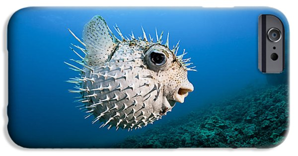 Porcupine Fish iPhone Cases - Spotted Porcupinefish iPhone Case by Dave Fleetham