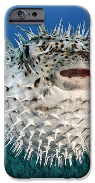 Spotted Porcupinefish III iPhone Case by Dave Fleetham