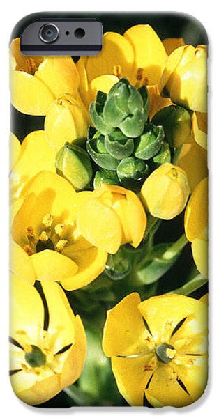 Star Of Bethlehem iPhone Case by Science Source