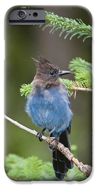 Rainy Day iPhone Cases - Stellers Jay Cyanocitta Stelleri iPhone Case by Konrad Wothe