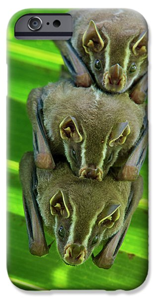 Roosting iPhone Cases - Striped Yellow-eared Bat Vampyressa iPhone Case by James Christensen