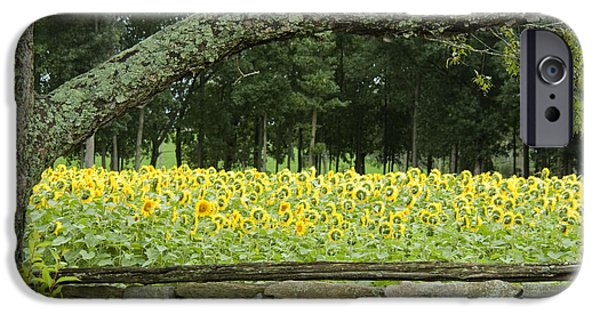Buttonwood Farm iPhone Cases - Sunflowers 1 iPhone Case by Ron Smith