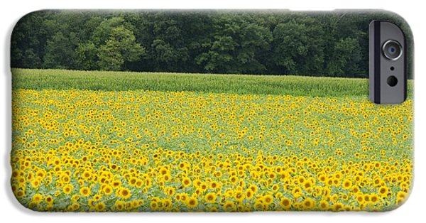 Buttonwood Farm iPhone Cases - Sunflowers 2 iPhone Case by Ron Smith